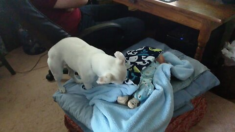 Sweet Dog Tucks in her Human Brother