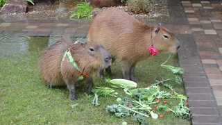 Hungry Capybaras Enjoy Some Food in the Rain