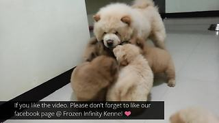 Mamma dog bonds with puppies over playtime   - Video