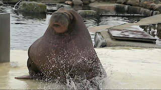 Giant walrus loves to ride down slide into water
