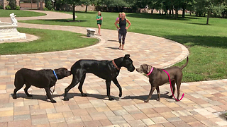 Great Dane's precious first meeting with Labrador friends - Video