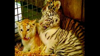 Tigers Have Different-Colored Fur