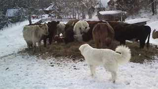 Cute Golden Retriever Meets Cows for the First Time - Video