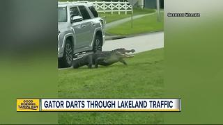 VIDEO: Gator interrupts traffic in Lakeland - Video