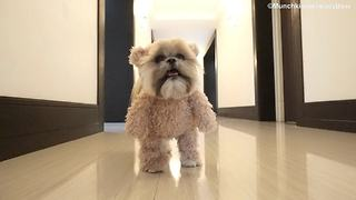 Munchkin the Teddy Bear loves to play fetch - Video