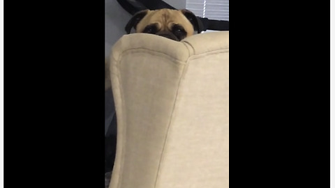 Creepy dog stares at owner's food from behind chair