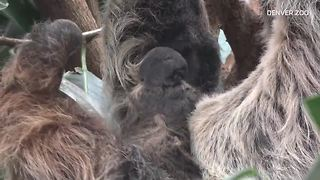 Raw video: Baby sloth born at Denver Zoo - Video