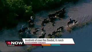 Cows rescued as Okeechobee County ranch floods - Video