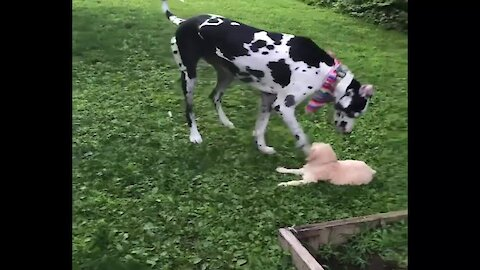 Great Dane plays with tiny 2-month-old puppy
