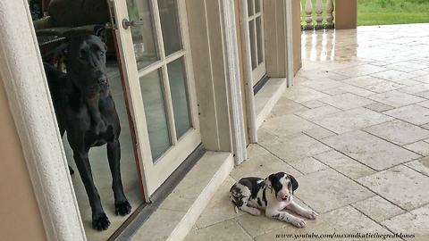 Great Dane & puppy friend watch thunderstorm together