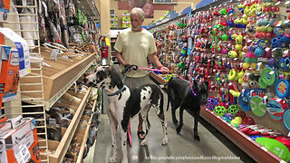 Great Danes Have Fun In The Snack Aisle Of Pet Store