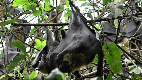 Flying fox bat adorably clings to its mother in the rainforest