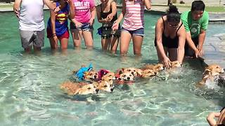 This Pool Of Swimming Corgis Has Brightened Our Day