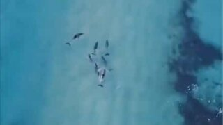 Drone footage of dolphins surfing in Australia