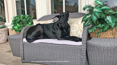 Great Dane chills out to watch Florida thunderstorms