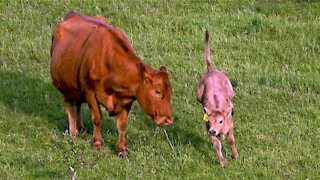 Adorable calf with zoomies runs around like a big farm puppy
