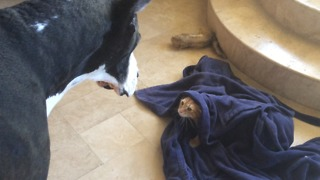 Funny Great Dane and Cat play hide and seek - Video