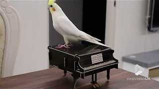 Cockatiel tap dancing on a piano
