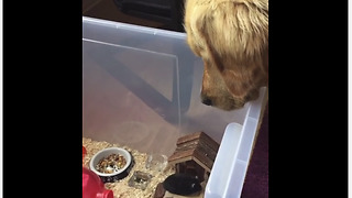 Golden Retriever intently watches over his little mouse friend - Video