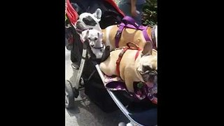 Man Takes Video of Fleet of Dogs in a Pram - Video