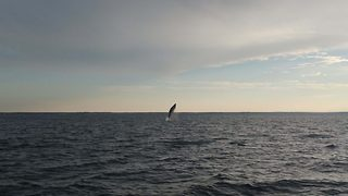 Footage captures vertical breaching whales - Video