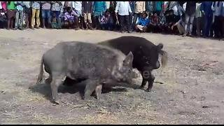 Illegal pig fights held to celebrate Indian festival
