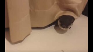 Pet otter loves playing with curtains