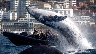 Humpback Whale Breaches Next To A Boat Leaving Tourists Drenched - Video