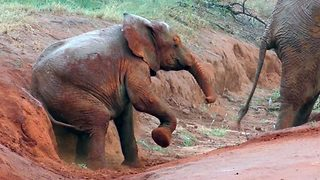 Adorable baby elephant uses sand ditch to solve itchy bum   - Video