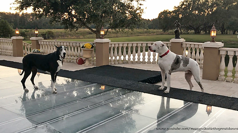 Funny Great Dane Complains About Dance Floor Pool Cover *