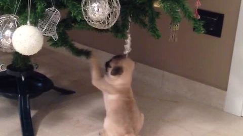 Pug puppy adorably fascinated by Christmas tree