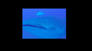 Curious Whale Shark Swims With Fisherman