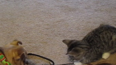 Kitten and dog keep each other entertained