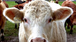 Man laughs when he discovers neighbor's cows have hilarious names