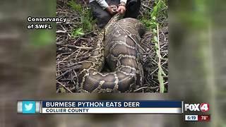 Scientists amazed when python regurgitates deer larger than itself