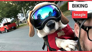 Dog cruises around town in goggles