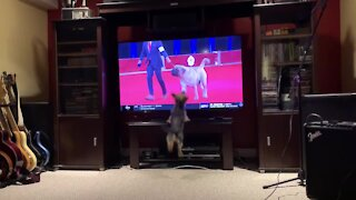 Tiny pup can't stop jumping at show dogs on TV