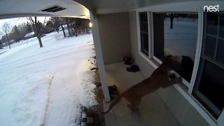 Cougar jumps on front porch in Brookfield - Video
