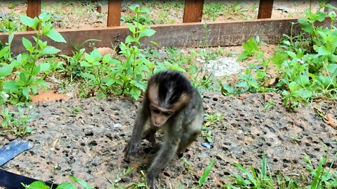 Baby Monkey Lori Looking For Mom