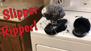 Einstein the talking parrot destroys owner's slippers