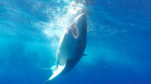 Great White Shark repeatedly coming at divers