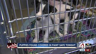 Four puppies found covered in latex paint - Video