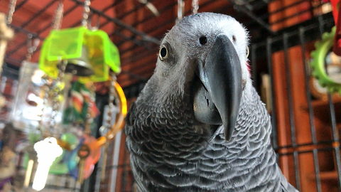 Happy Talking African Grey Parrot Says Ho Ho Ho