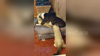 Kitten can't stop playing with dog's wagging tail