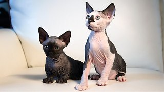 New Cat Breeds: Meet the Hairless SphynxieBob And BamBob - Video