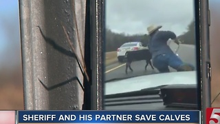 Video Of Cowboy Lassoing Calf From Cop Car Goes Viral - Video