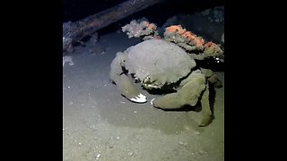 Sponge crab looks like something from outer space
