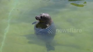 Jinx the overweight seal reluctantly starts exercise regime - Video