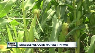 Corn harvest results in Western New York - Video
