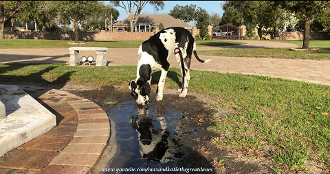 Funny Great Dane Puppy Discovers Mud Puddle